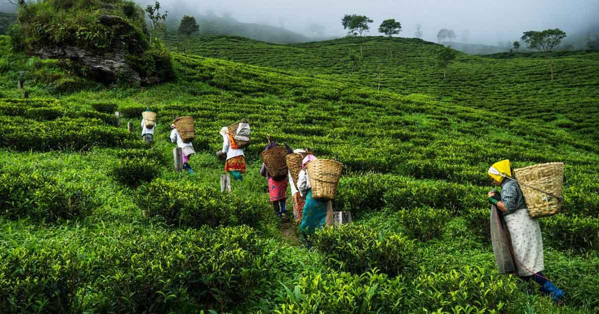 Marakaibari_tea_Estate_