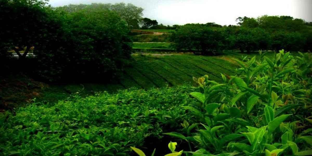Plantacia_na-Azorskih-ostro