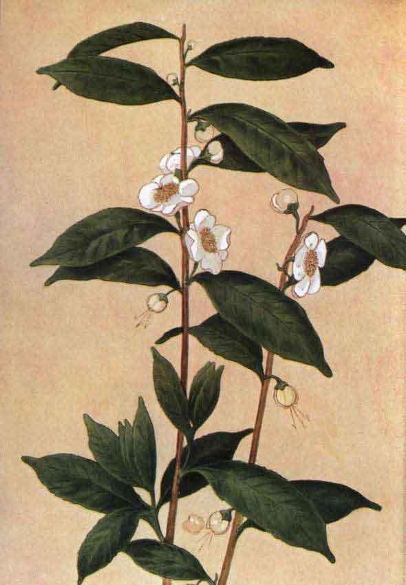 На этой гравюре конца девятнадцатого века отображено чайное дерево Camellia sinensis. Его листья и листовые почки используются для приготовления чая.