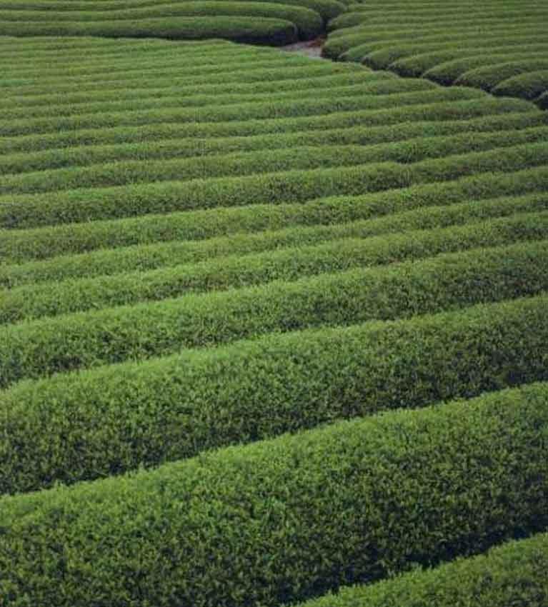 «Волны» чая в саду Шидзуока к западу от Токио, где растёт большинство японского зелёного чая.