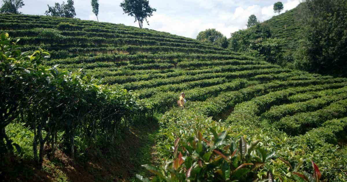 Чайные плантации пурпурного сорта Цзы Чжуань (紫娟)