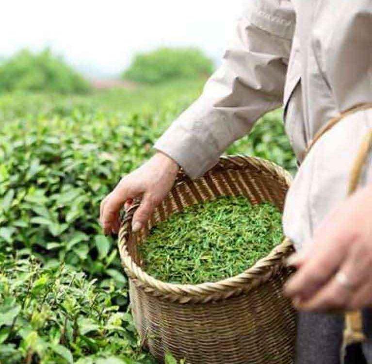 Сокращение производства зеленого чая в Китае