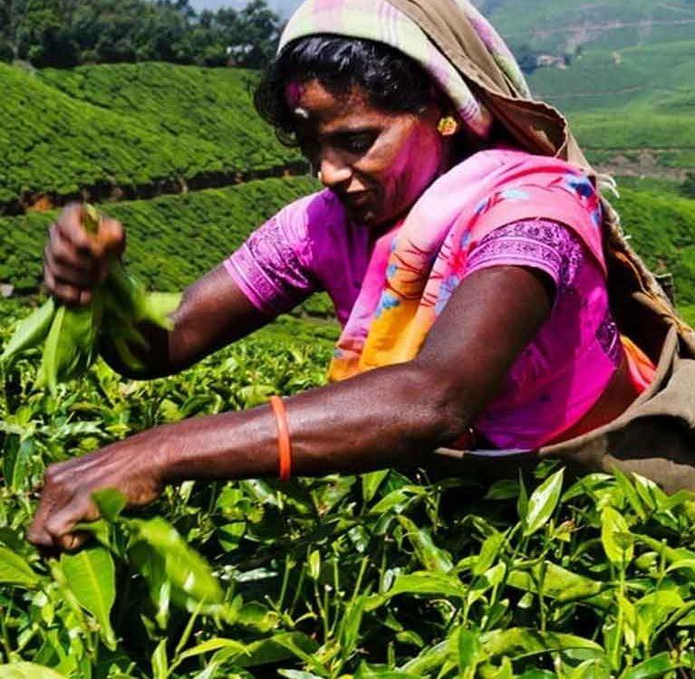 Индия и СНГ по чаю